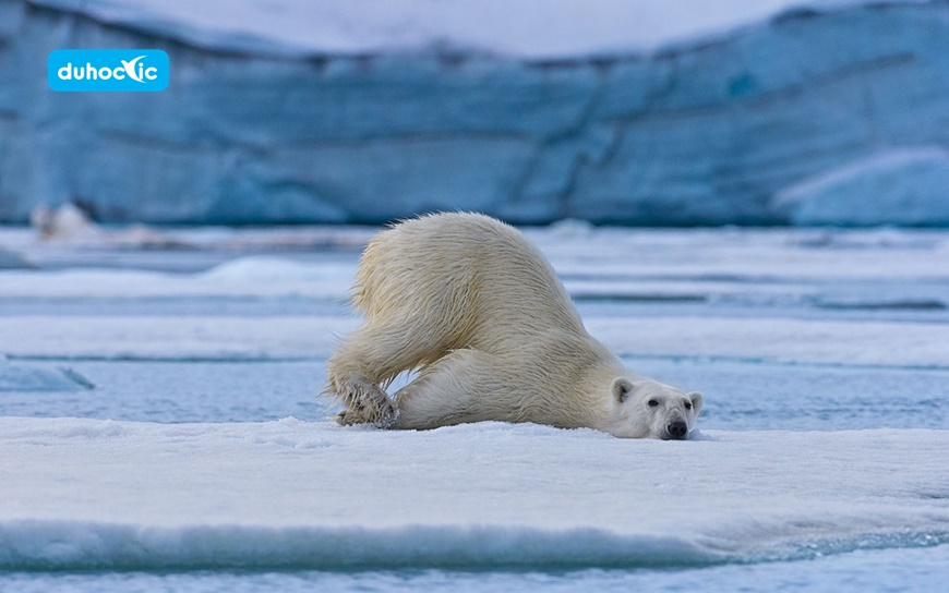 Polar Bears of Svalbard. Svalbard (Spitsbergen) Archipelago, Norway.